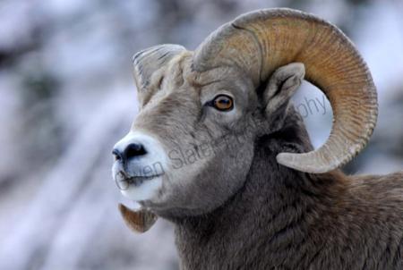 bighorn-ram.jpg