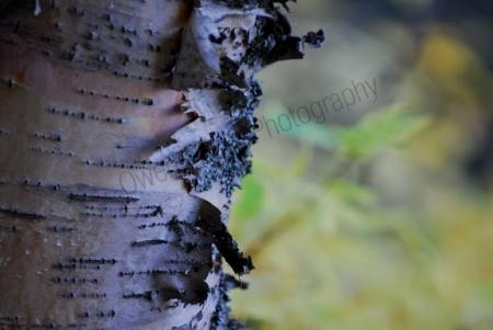 birch-bark.jpg
