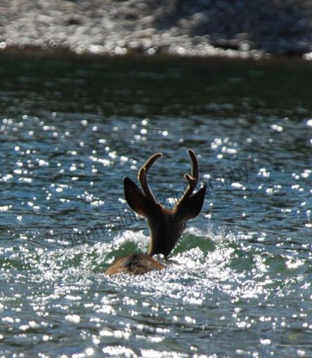 buck-swimming.jpg