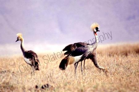 crown_crane1.jpg