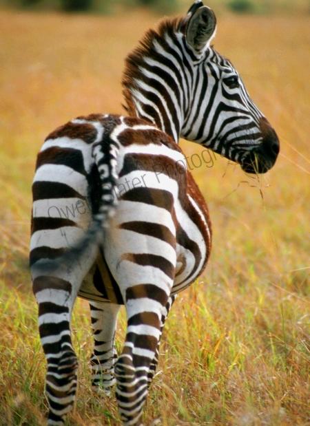 juv_burchells_zebra.jpg