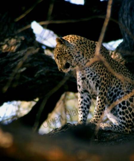 leopard_sitting.jpg