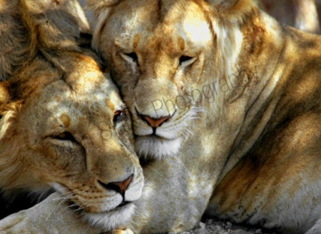lions_brotherly_love.jpg
