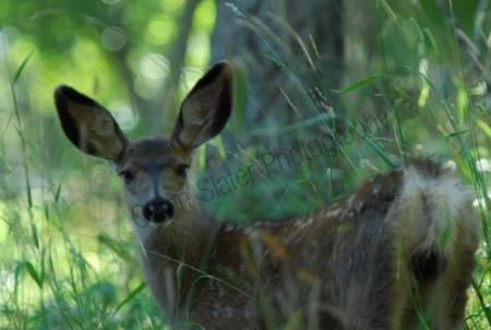 mule-deer-fawn.jpg