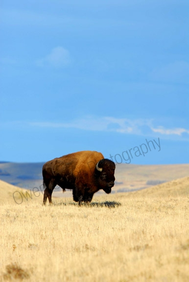 plains-bison.jpg
