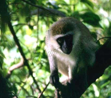 vervet_monkey.jpg