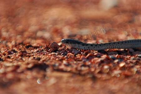wandering-garter-snake.jpg
