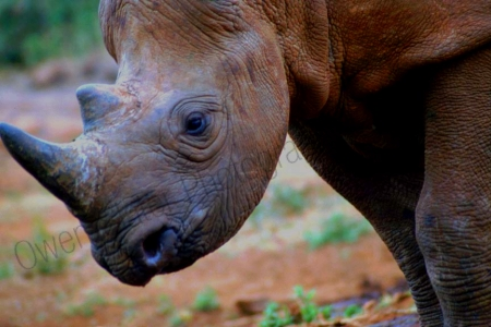 black_rhino_dswt_headprofile.jpg