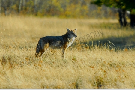 coyote-in-flats.jpg