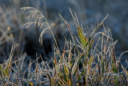 frosted-grasses.jpg