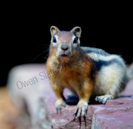 golden-mantled-ground-squirrel.jpg