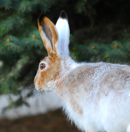 snowshoe-hare.jpg