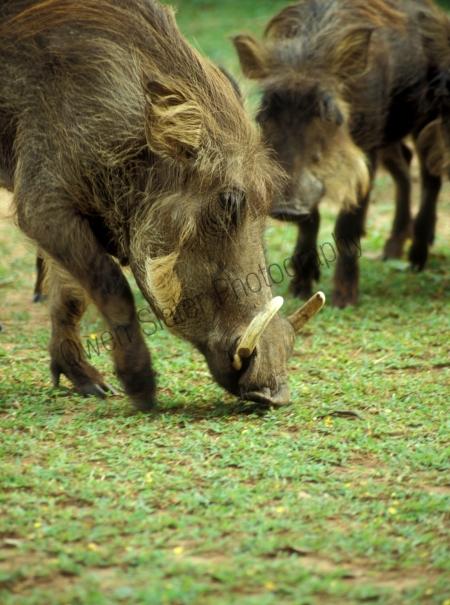 warthogs.jpg