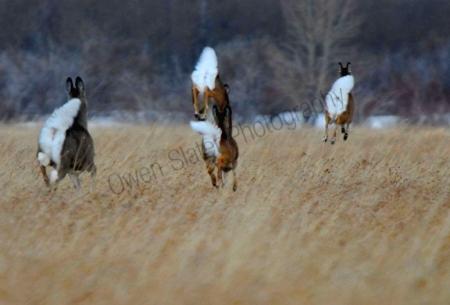 white-tail-deer.jpg