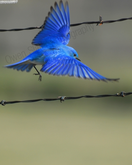 blue-bird-in-flight.jpg