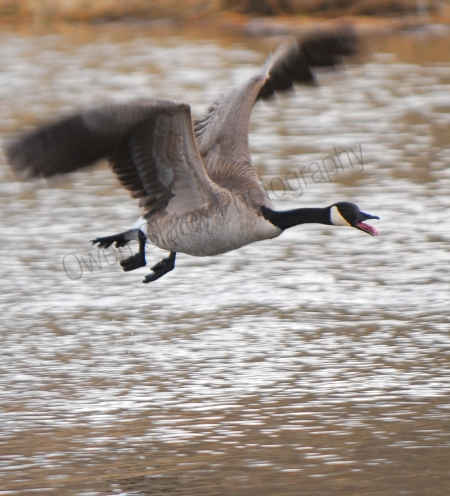 canadian-goose-flying.jpg