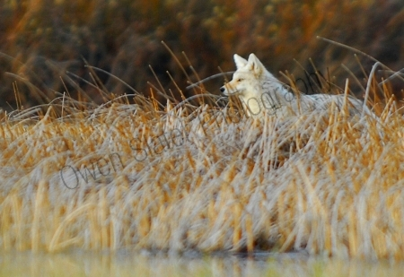 coyote-in-marsh.jpg