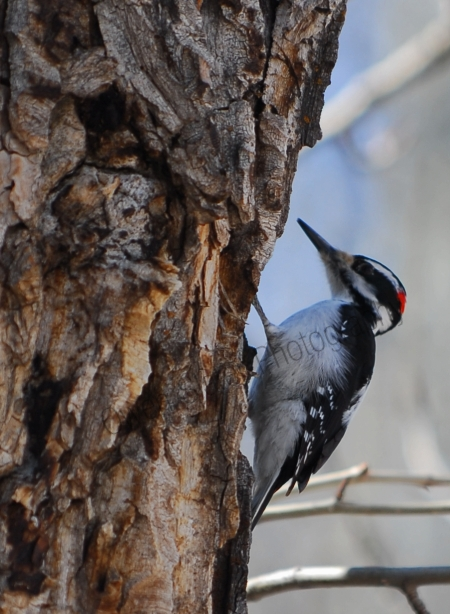 downey-woodpecker.jpg