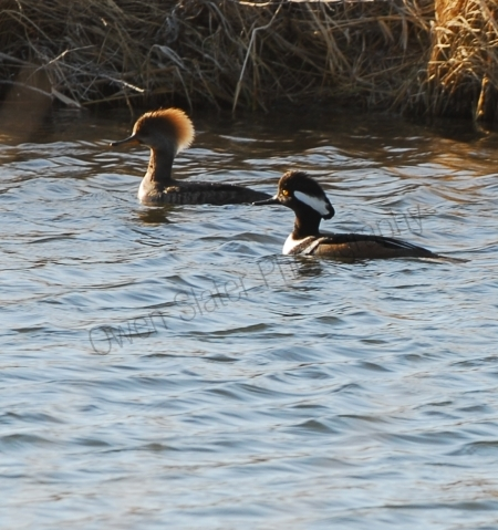 hooded-merganser.jpg