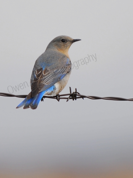 mountain-bluebird-female.jpg