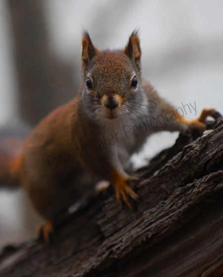 red-squirrel-stare.jpg