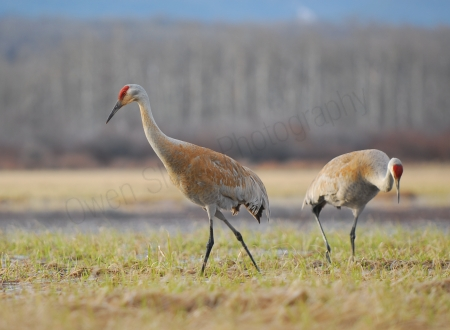 sandhill-cranes.jpg