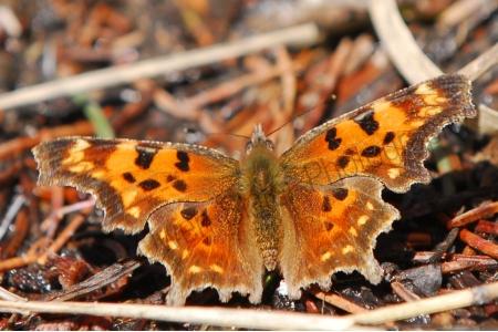 sulfur-butterfly.jpg