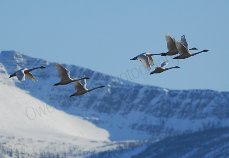 tundra-swans-flying-over-mountains.jpg