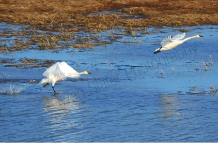 tundra-swans-taking-off.jpg