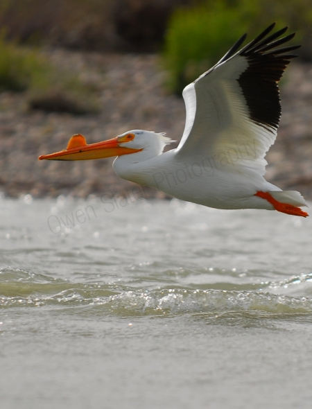 american-white-pelican-in-flight.jpg