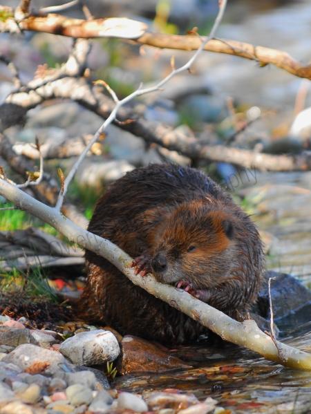 beaver-chewing-wood.jpg