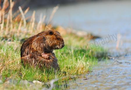 beaver-cleaning.jpg