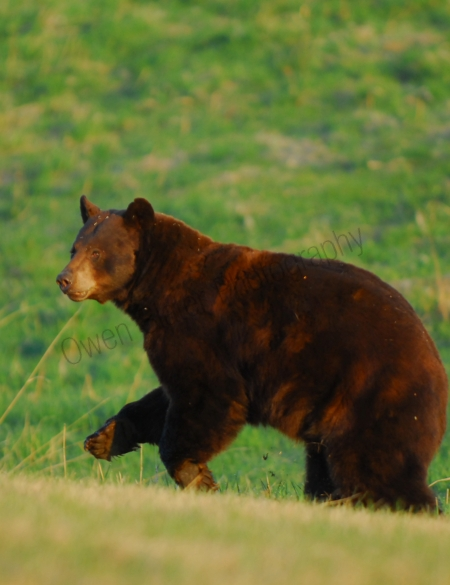 black-bear-running.jpg