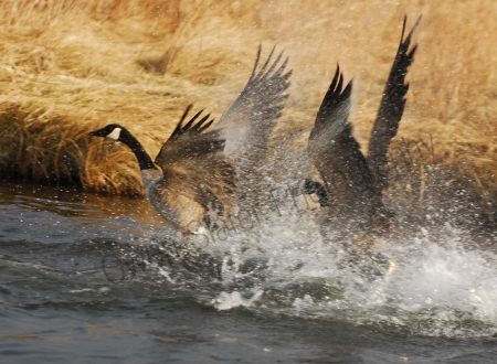 canada-geese-fighting.jpg
