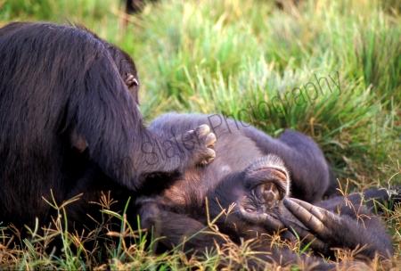 chimp_grooming.jpg