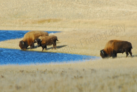 plains-bison-drinking-from-lake.jpg