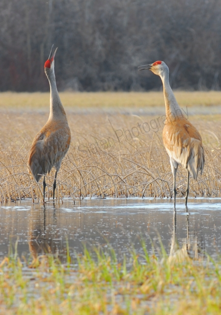 sandhill-cranes-calling.jpg