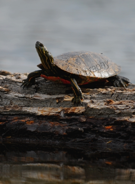 western-painted-turtle.jpg
