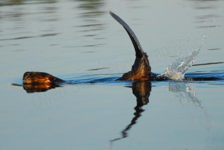beaver-tail-slap.jpg