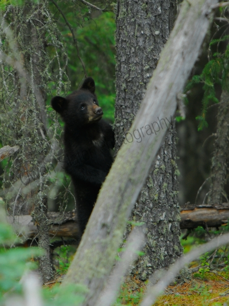 black-bear-cub-standing.jpg
