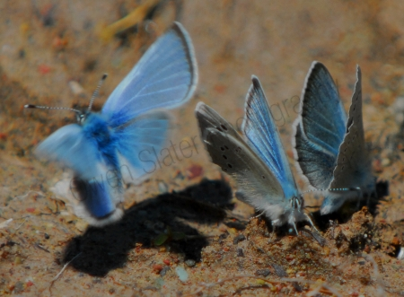 boisduvals-blue-butterfly.jpg