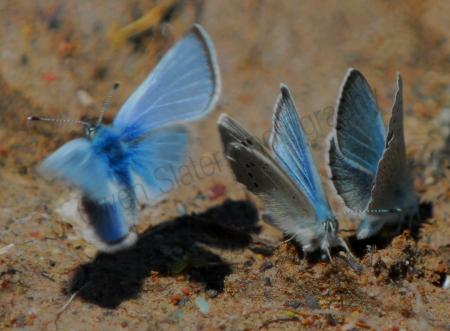 boisduvals-blue-butterfly.jpg