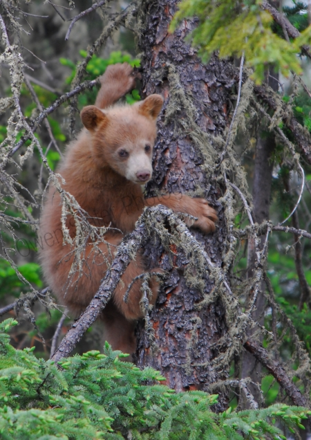 cinammon-bear-cub-in-tree.jpg