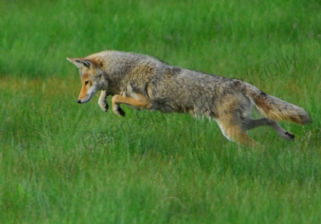 coyote-pounce.jpg