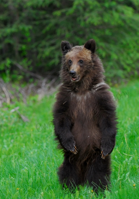 grizzly-cub-standing.jpg