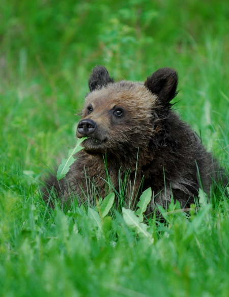 grizzly-cub-w-leaf-in-mouth.jpg