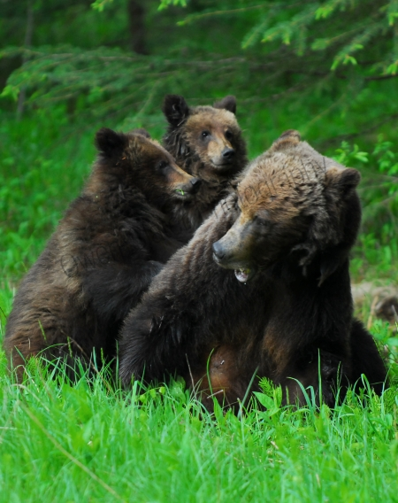 grizzly-family-playing.jpg