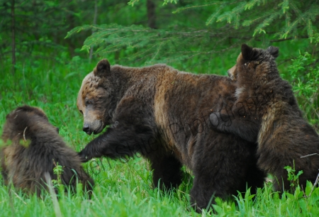 grizzly-mom-and-cubs-playing.jpg