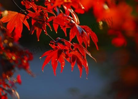 japanese-maple.jpg