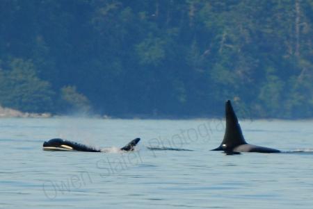 killer-whales.jpg